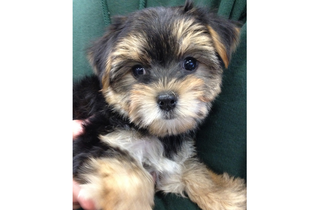 maltese mix with yorkie puppies the dog house etc 7034